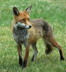 fox control pest vermin vulpine